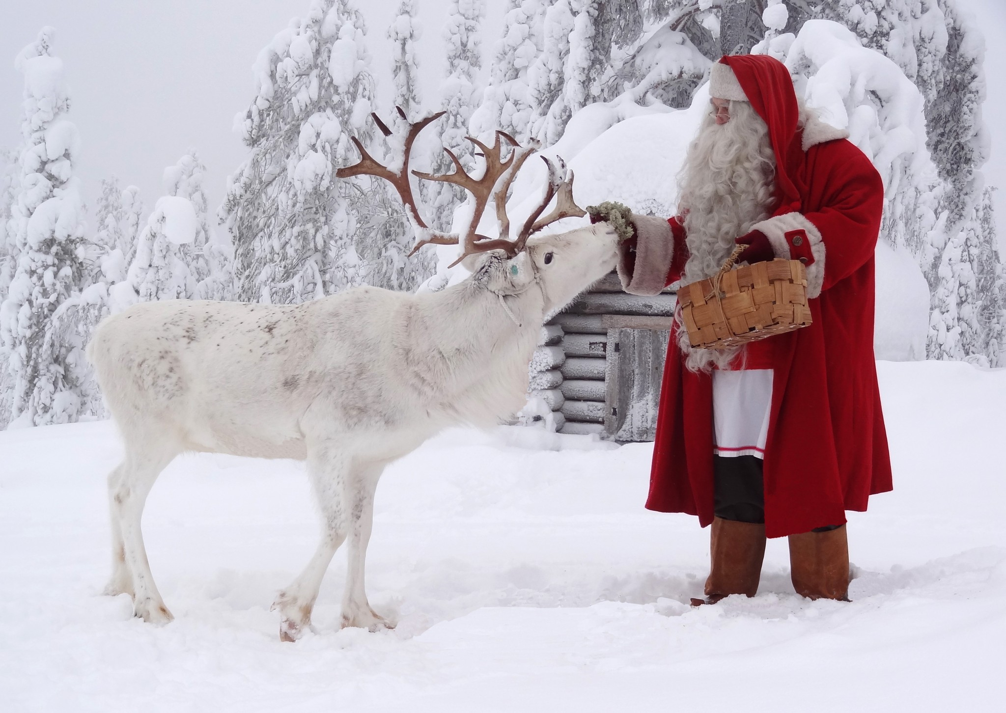 Santa claus feeding reindeer at the top ritavaara in pello